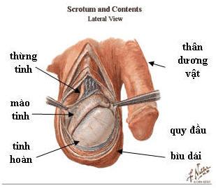Những kích thích trực tiếp lên thân dưong vật, quy đầu hoặc các kích thích  tâm lý sẽ được dẫn truyền lên trung tâm gây cương ở não bộ.